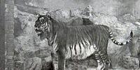 Panthera Tigris Sudanensis