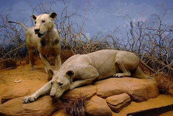 Man-Eaters-Body-COunt-Animals-Tsavo-Lions-Africa-stuffed-670x448