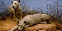 Buffalo Lion