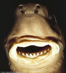 Giant Cookiecutter Shark