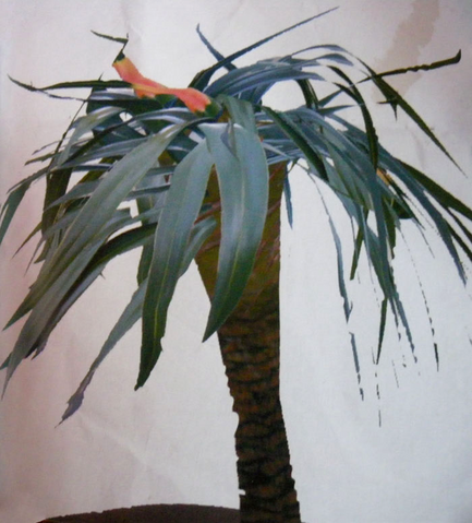File:Beanstalkpalm1.png