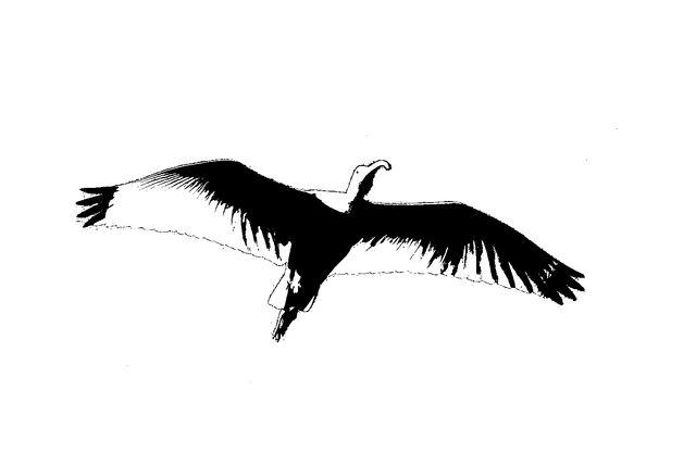 File:Ibis in flight overhead Silhouete.jpg