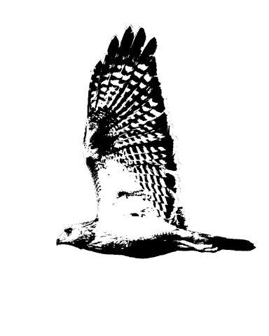 File:Red Shouldered Hawk in flight Silhouette.jpg
