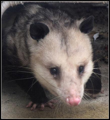 File:Opossum tear? DSC 0007.jpg