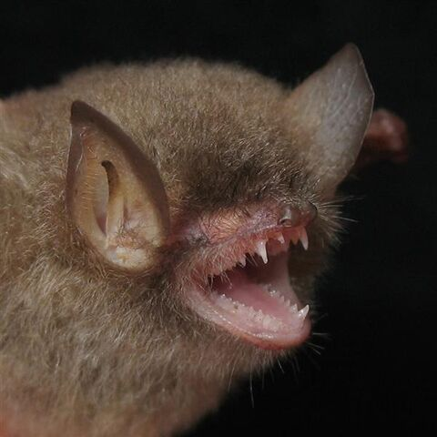 File:Funny Bats picture (3).jpg