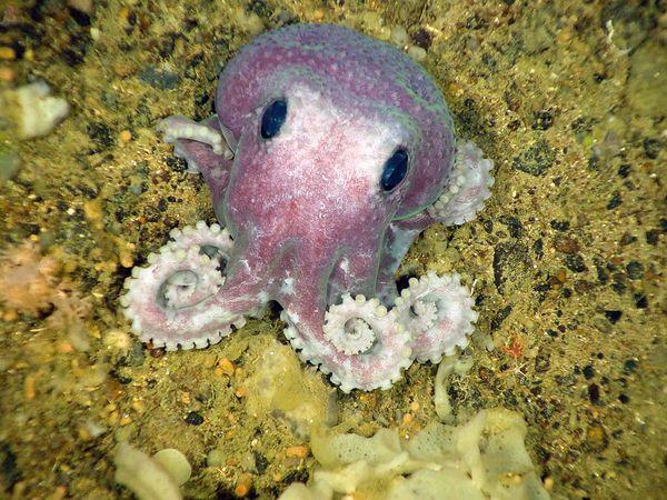 File:Newfoundland-deep-sea-species-octopus 23992 600x450.jpg