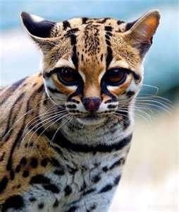 File:Tigerfur.jpg