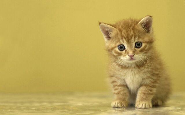 File:1284446387 1280x800 funny-brown-kitten-1-.jpg