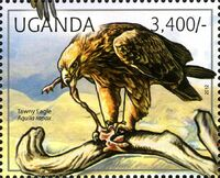 Uganda 2012 Fauna of African Great Lakes Region - Birds of Prey - Western Marsh Harrier a