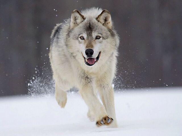 File:Gray Wolf Minnesota.jpg