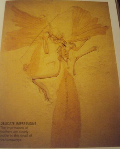 File:Fossil remains of Archaeopteryx.jpg