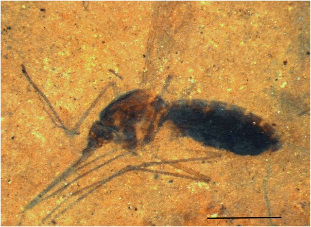 File:Insect in oil shale.jpg