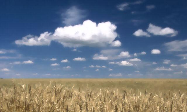 Файл:Hok wheat.jpg