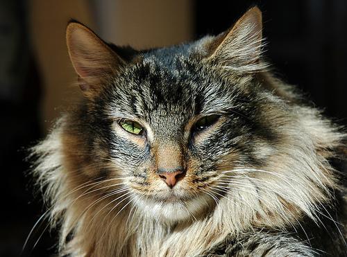 File:Cat Mandu.jpg