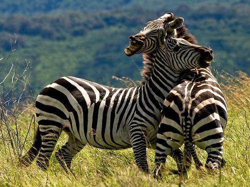 File:Duelling Zebras.jpg