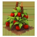 Sw tomatoes last