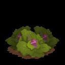 Cabbage last