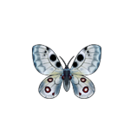Butterfly parnassius
