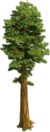 Tree-Small sequoia