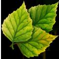 Coll leaves birch