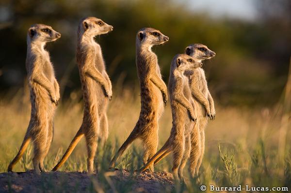 File:Meerkat family.jpg