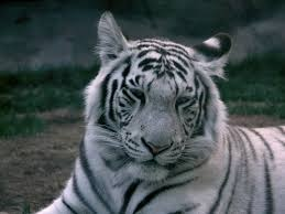 File:Maybe a white tiger.jpg