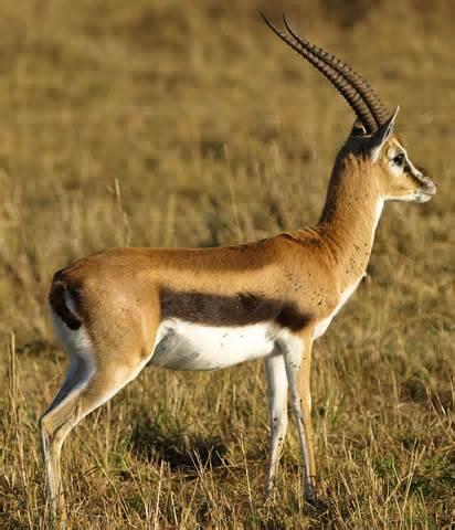 File:Gazelle.jpg