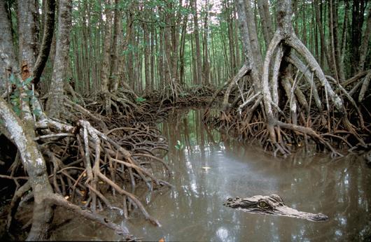 File:Mangrove Swamp.jpg