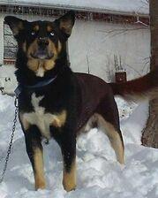 Rottweiler-husky-mix-size