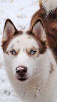 C8dbbdc5ee4b63913e90321ffb82f3f4--husky-wolf-mix-red-siberian-husky
