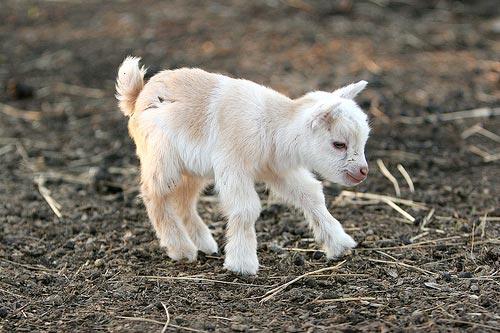 Cute-baby-goat