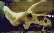 Triceratops-Laramie