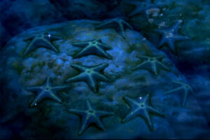 Star Swimmers