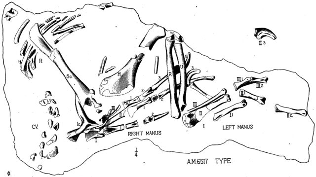 File:Oviraptor arms.jpg