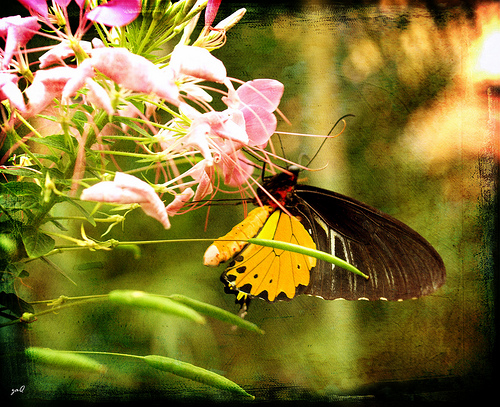 File:Spread your wings and prepare to fly, for you have become a butterfly...jpg