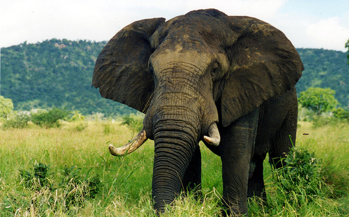 File:Big 5 - Elephant.jpg