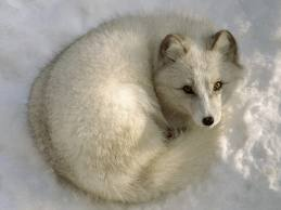 Law's Arctic Fox..