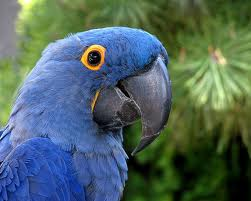 File:Blue Macaw.jpg