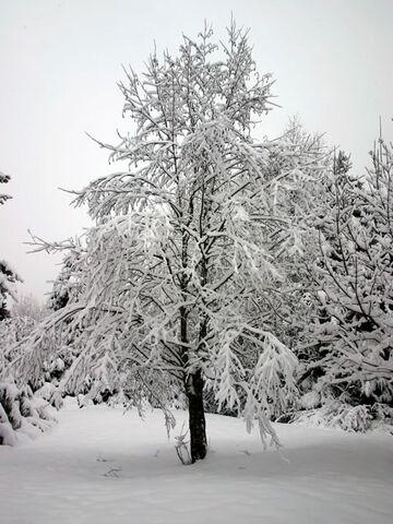 File:Snowy tree1.jpg
