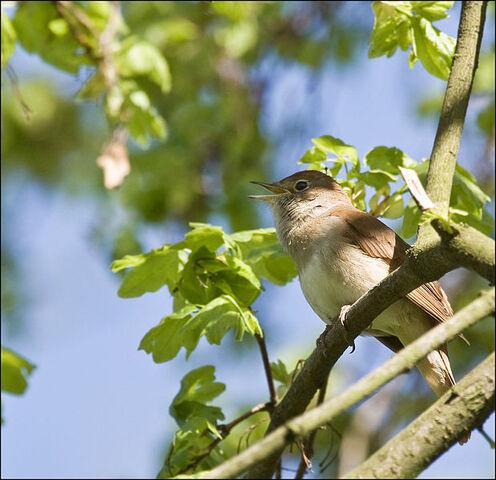 File:Nightingale1.jpeg