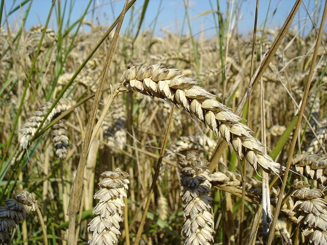 File:Wheat.jpg