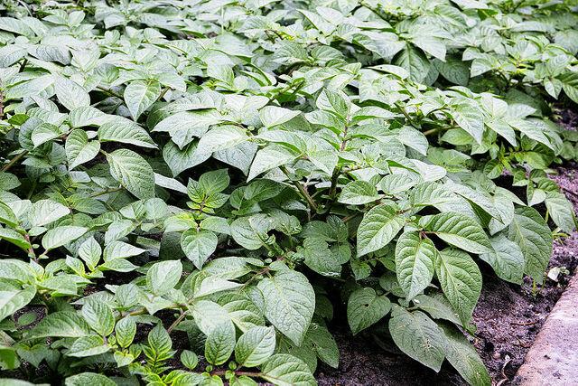 File:Potato plants.jpg