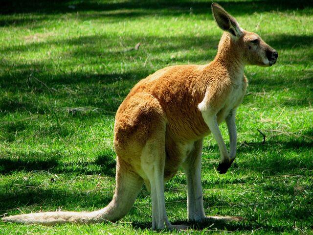 File:Kangaroo1.jpg