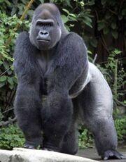 Gorilla(1)