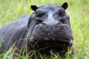 Pablo-escobar-keeps-hurting-colombia-through-his-pet-hippos