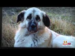 File:Anatolian Sheep Dogs.jpg