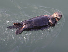 File:220px-Sea Otter kuchang kushiro hokkaido.jpg