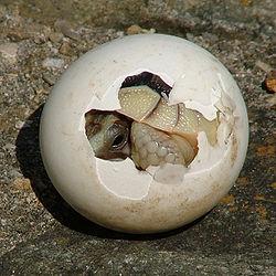 File:250px-Tortoise-Hatchling.jpg