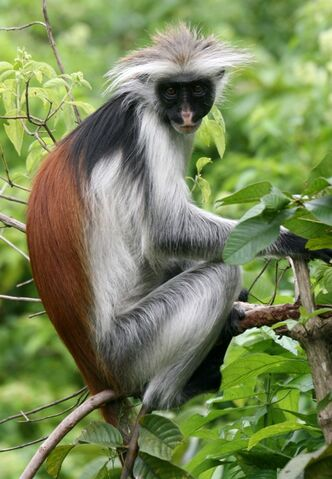 File:IMG 3456 red colobus.jpg