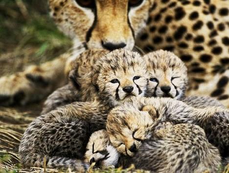 File:Baby cheetahs.jpg